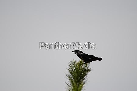 canary islands raven corvus corax canariensis