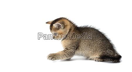 cute kitten scottish golden chinchilla straight