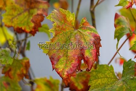 dry vine leaves in autumn