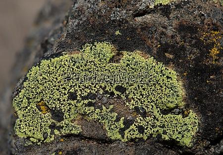 map lichen rhizocarpon geographicum on a
