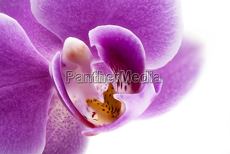 orchid purple close up