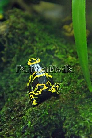 amazon milk frog in terrarium dendrobates