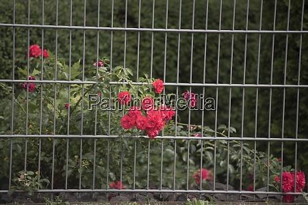 rose plants in a rose garden