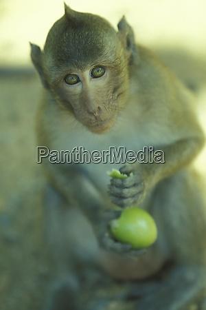 cambodia siem reap monkey