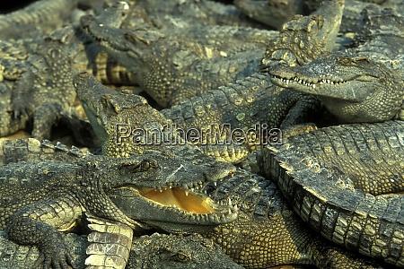 cambodia siem reap crocodile farm