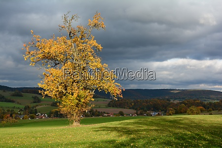 autumnal colored tree in sunlight
