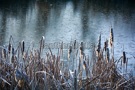 reeds grasses with hoarfrost at the
