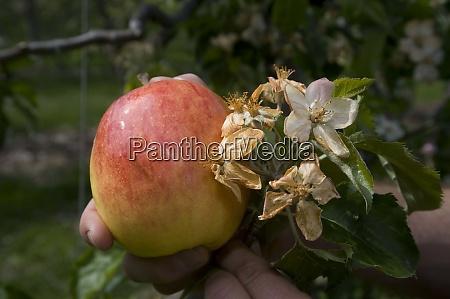 frost damage in fruit growing