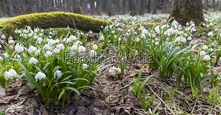 early spring forest with spring snowflake