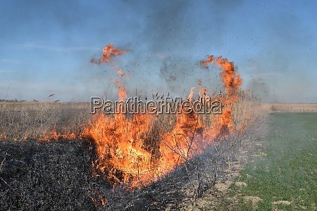 burning dry grass and reeds