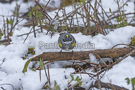 a yellow rumped warbler taking on