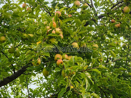 apples developing on the branches of