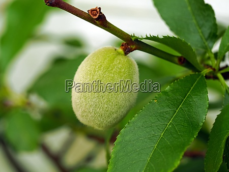 peach fruit developing on a tree