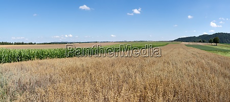 brown ripe oat in a field