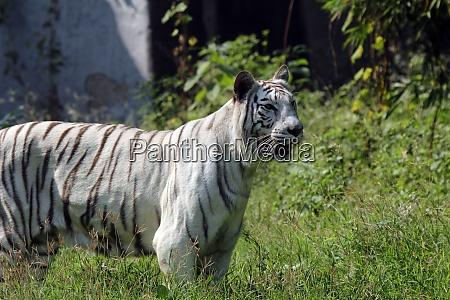 white, bengal, tiger - 29076205