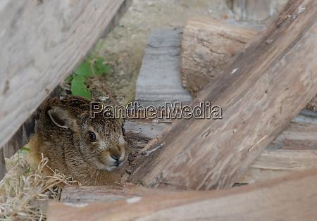 little rabbit hiding between wooden beams