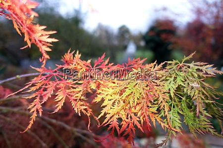 japanese maple palmate maple or smooth