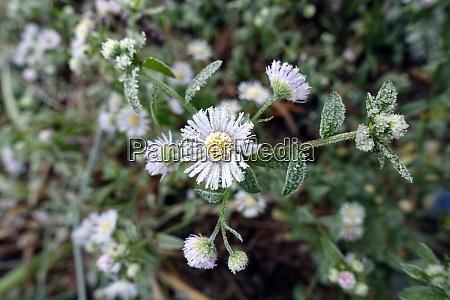 annual fleabane daisy fleabane or eastern