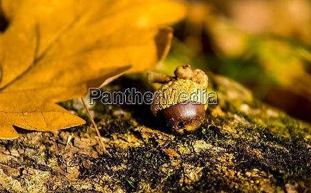 acorn that fell under tree on