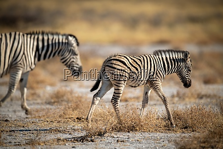 baby plains zebra crosses pan with