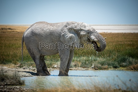 african bush elephant stands drinking in