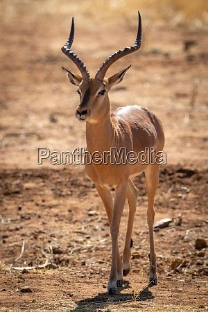 backlit male common impala walks over