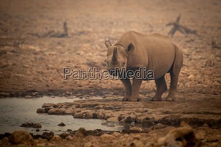 black rhino stands among rocks in