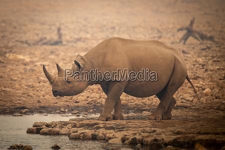 black rhino walks towards waterhole in
