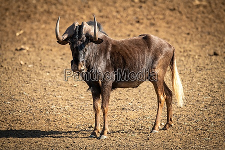 black wildebeest stands in bare rocky