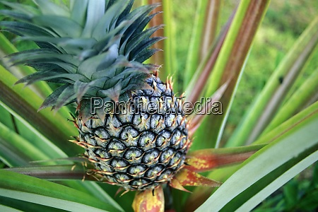 thailand krabi ao nang railay pineapple