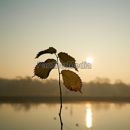 leaves of an young elm tree