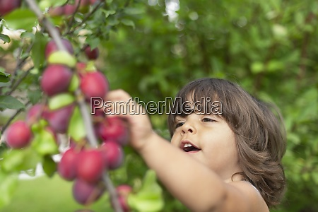 cute toddler boy picking plums off