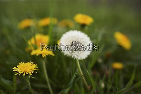 close up dandelions growing