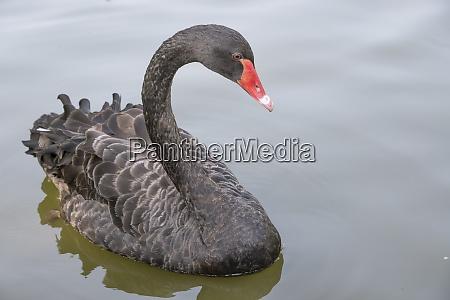pair of black swans