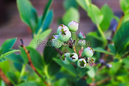 top view of unripe blueberry fruit