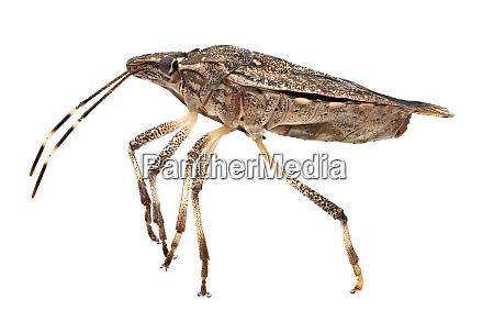 stink bug macrophotography