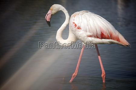 flamingo phoenicopterus roseus standing in water
