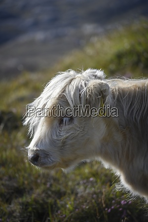 portrait of white galloway cow