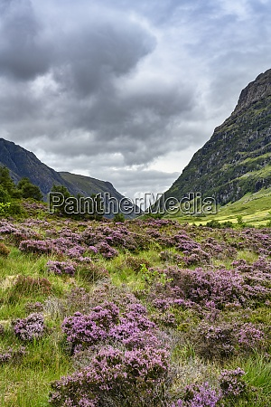 clouds over heather blooming in glen