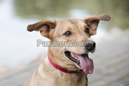 dog sticking out tongue while standing