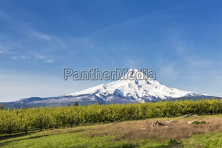 usa oregon fruit trees at mount