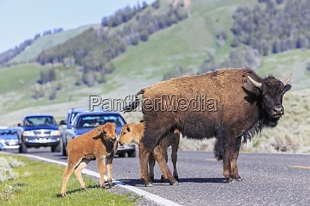 usa yellowstone national park bisons crossing