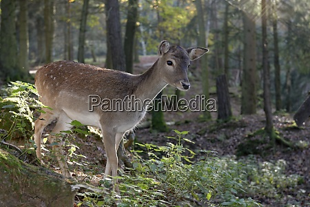 germany furth im wald fallow deer
