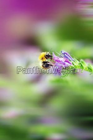 italy bumblebee pollinates echium flower macro
