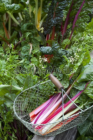 basket with chard picked from vegetable
