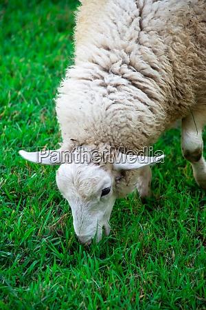 close up of white sheep grazing
