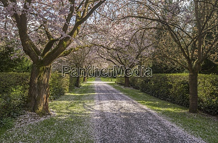 blossoming cherry tree avenue on a