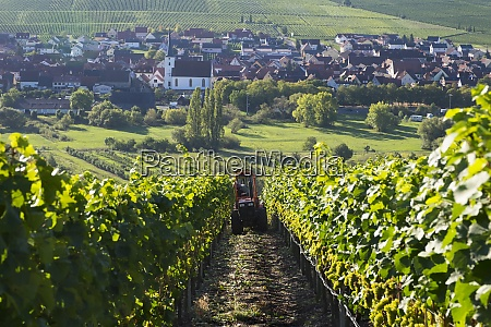 germany lower franconia grape harvest near