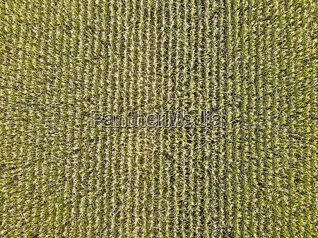 drone view of green crops growing