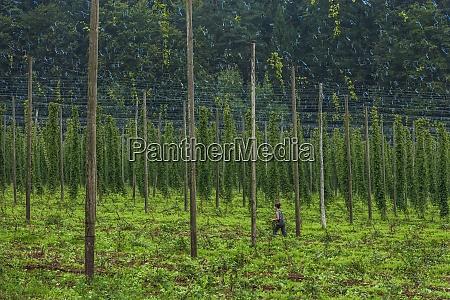 germany bavaria attenhofen hop harvest